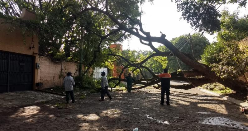 Lluvias provocan caída de árboles en Cuernavaca
